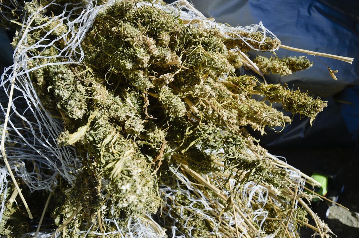 Recently harvested hemp plants