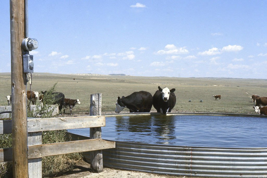 Cattle drink from a stock tank