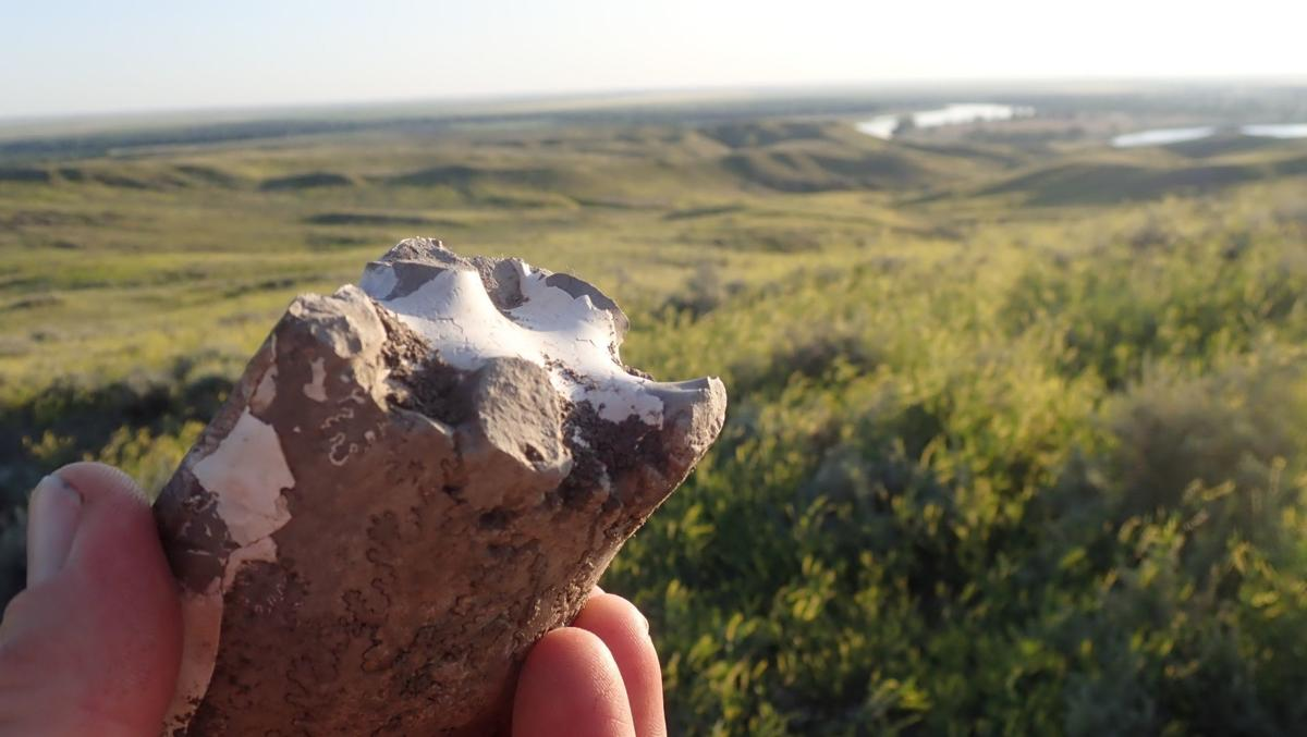 """Fossils are common on in eastern Montana, this baculite was on BLM land which I named as """"Pomme Blanche"""" on the proposed Big Muddy National Water Trail."""