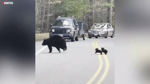 Watch a mother bear and her adorable cubs stop traffic in New Hampshire
