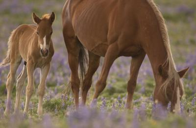Pryor Mountain wild horses (IR Copy)