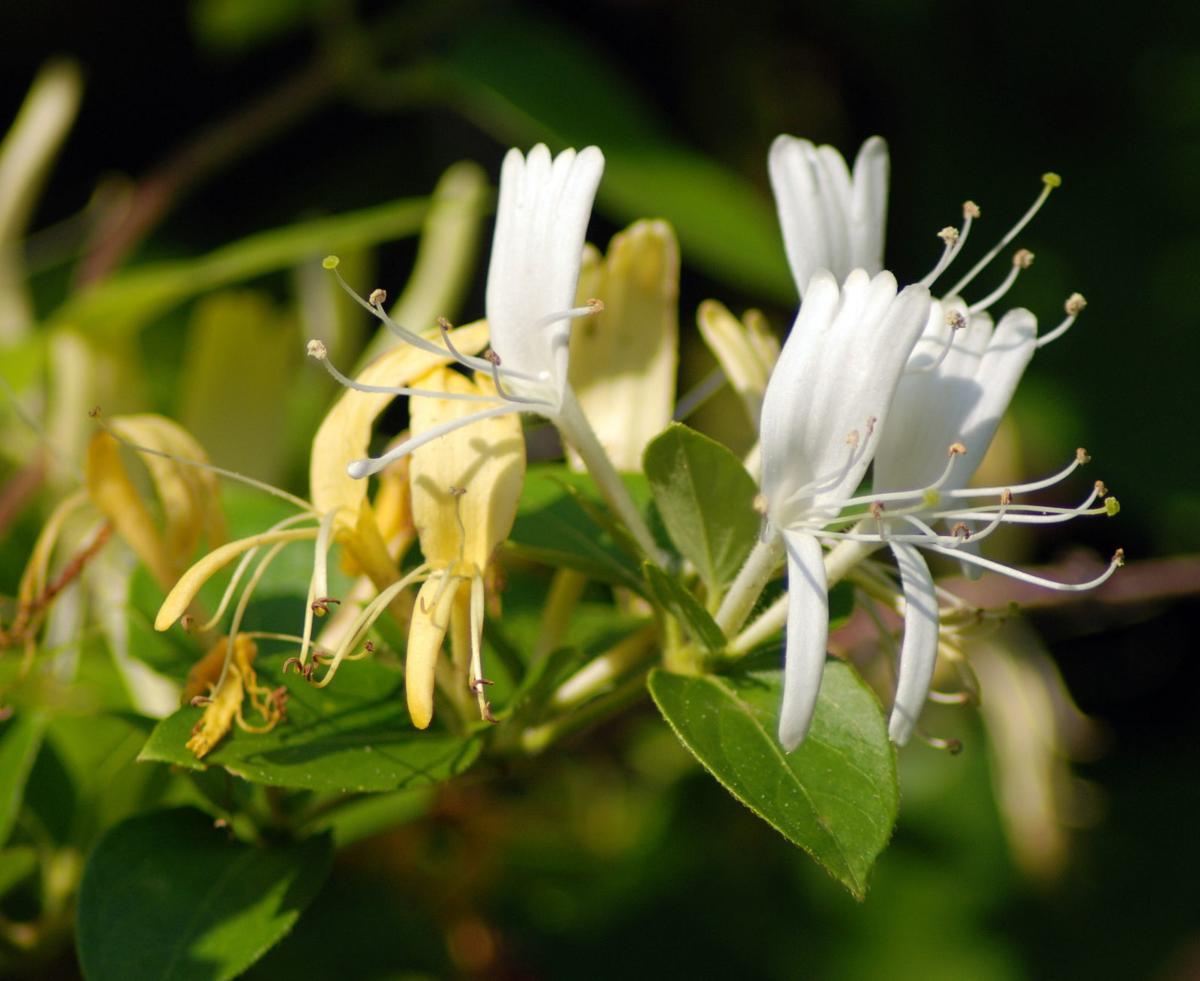 A flowering honeysuckle vine.