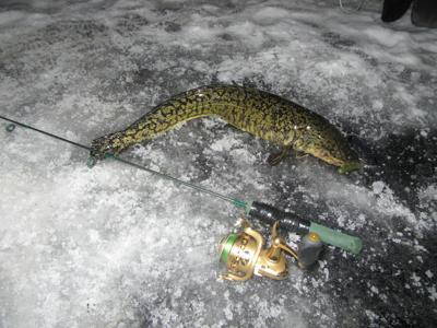 Burbot on the ice