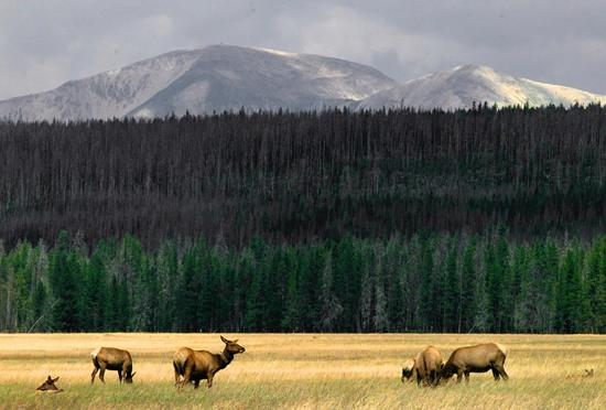 Elk and brucellosis