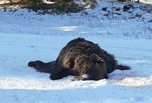 FWP investigates three recent grizzly bear deaths