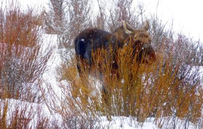 Yellowstone moose file