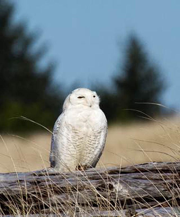 Snowy Owl Holds Special Place For Birders Outdoors Helenair