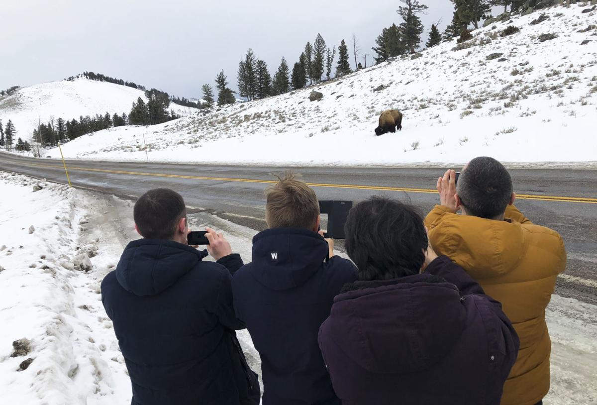 The WorldMontana delegates from Russia photograph a bison at Yellowstone National Park earlier this week.