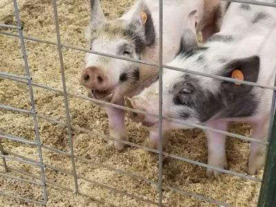Prized pigs