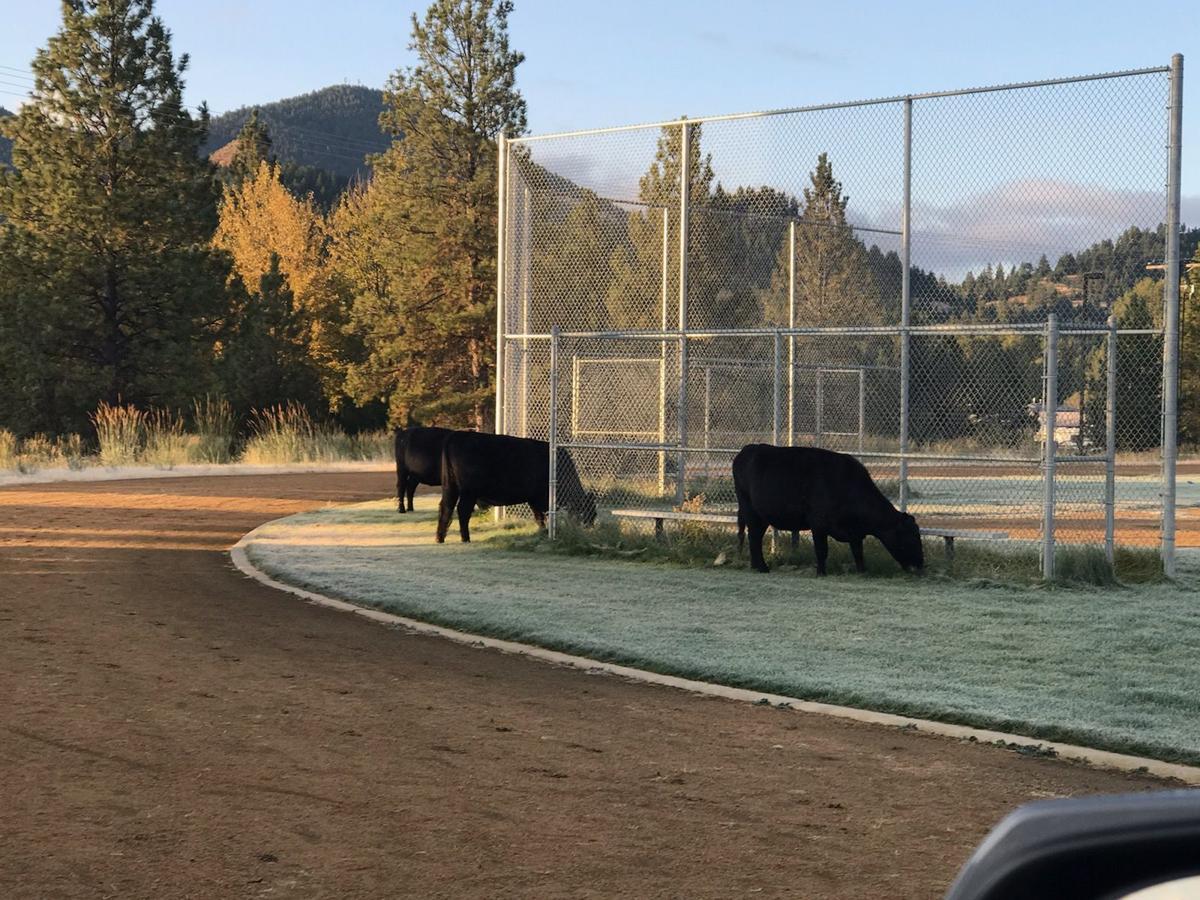 Montana City School cattle