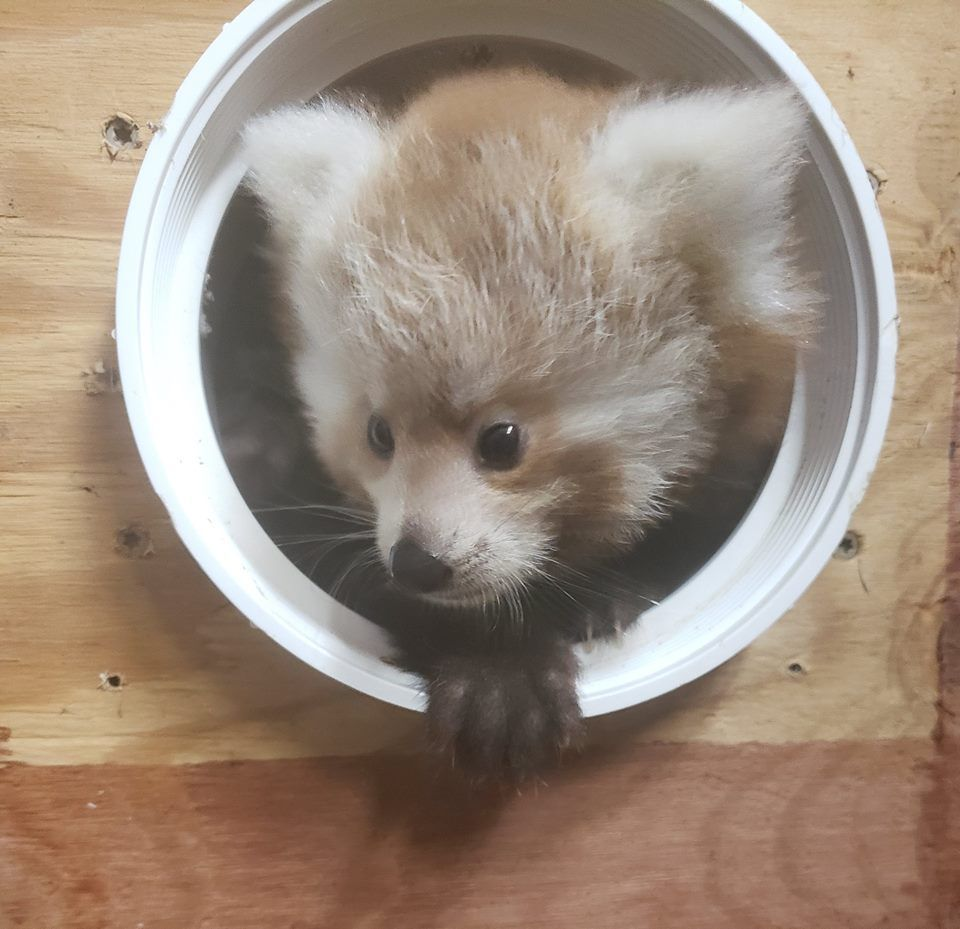 Just Right Scovill Zoo S 2 Baby Red Pandas Weighing In At 1 3