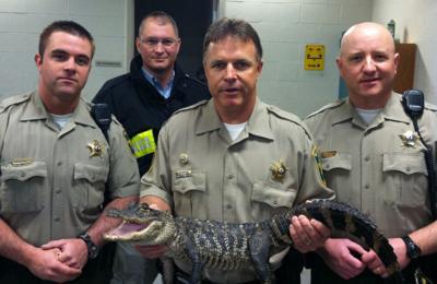 Authorities seize alligator being kept in Bloomington home's basement