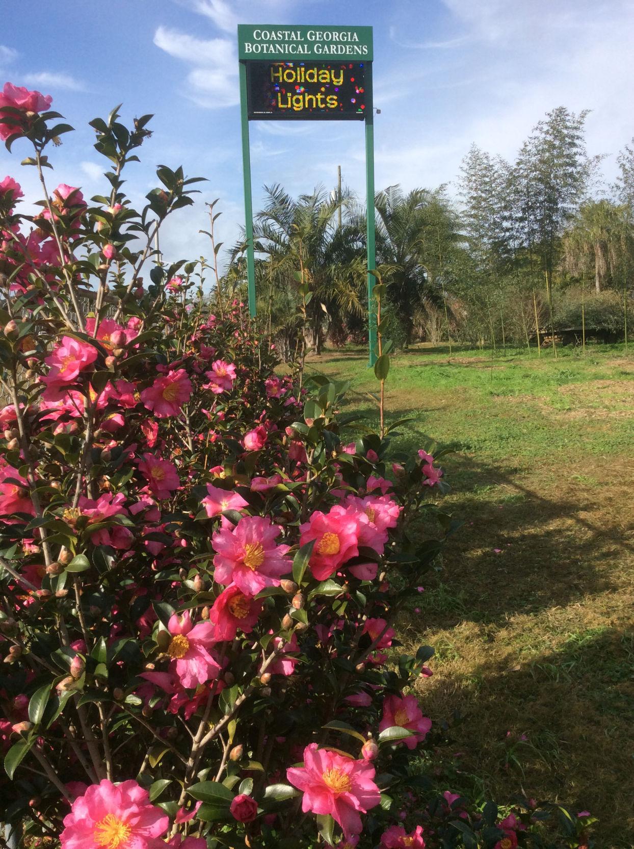 ON GARDENING: Kanjiro Camellia Has Stood The Test Of Time
