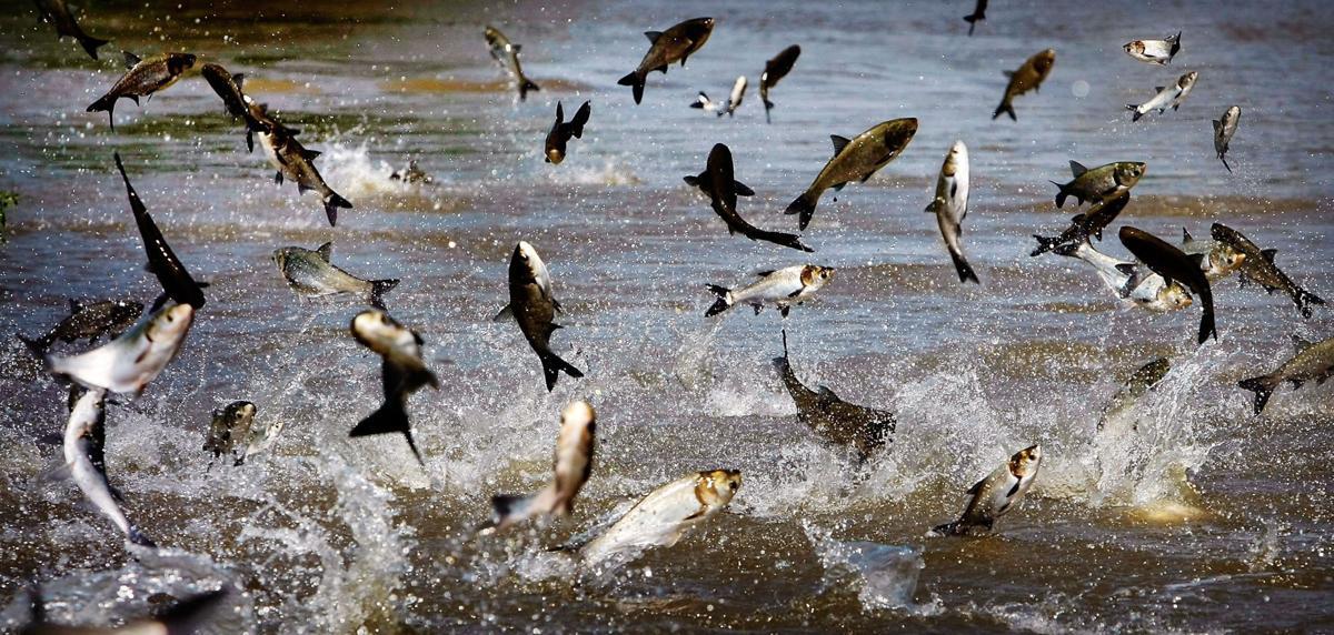 Asian Carp File Photo