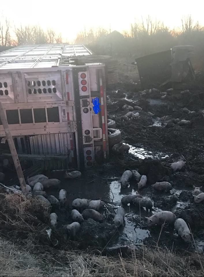 overturned livestock hauler