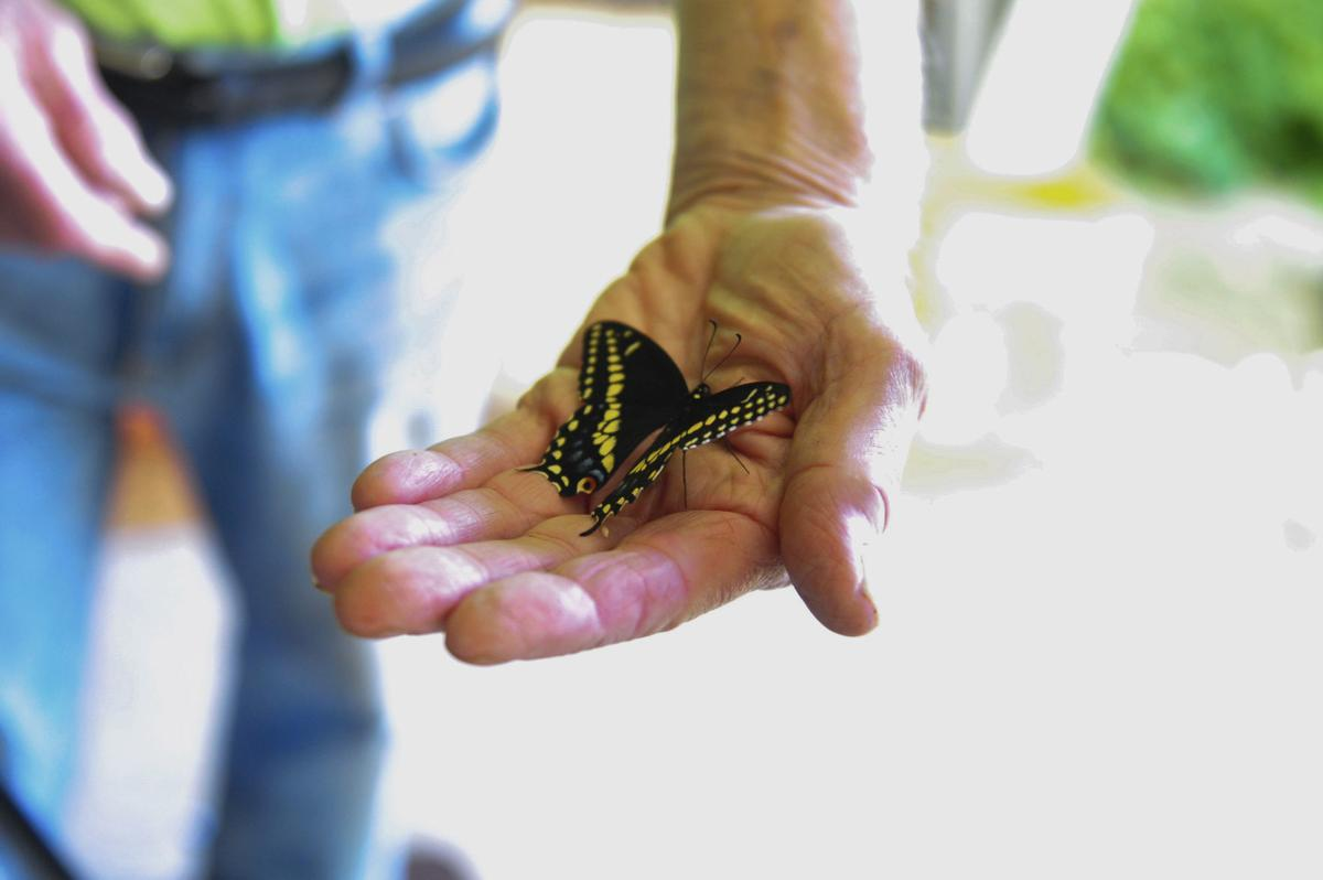 Butterfly Man' replenishes Monarchs, swallowtails | State