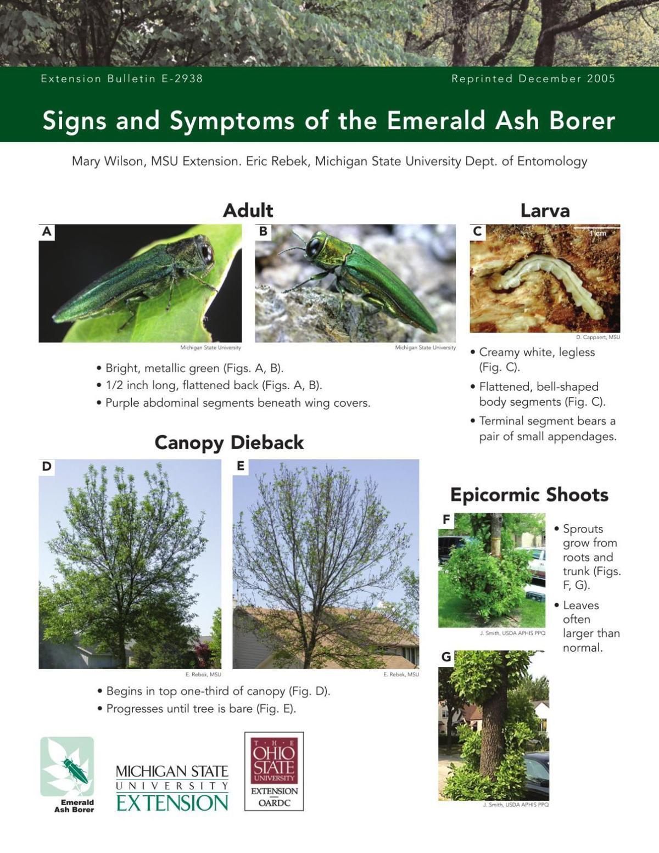 Emerald ash borer signs and symptoms