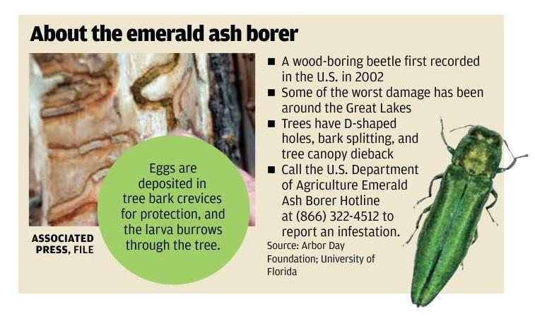 About the emerald ash borer