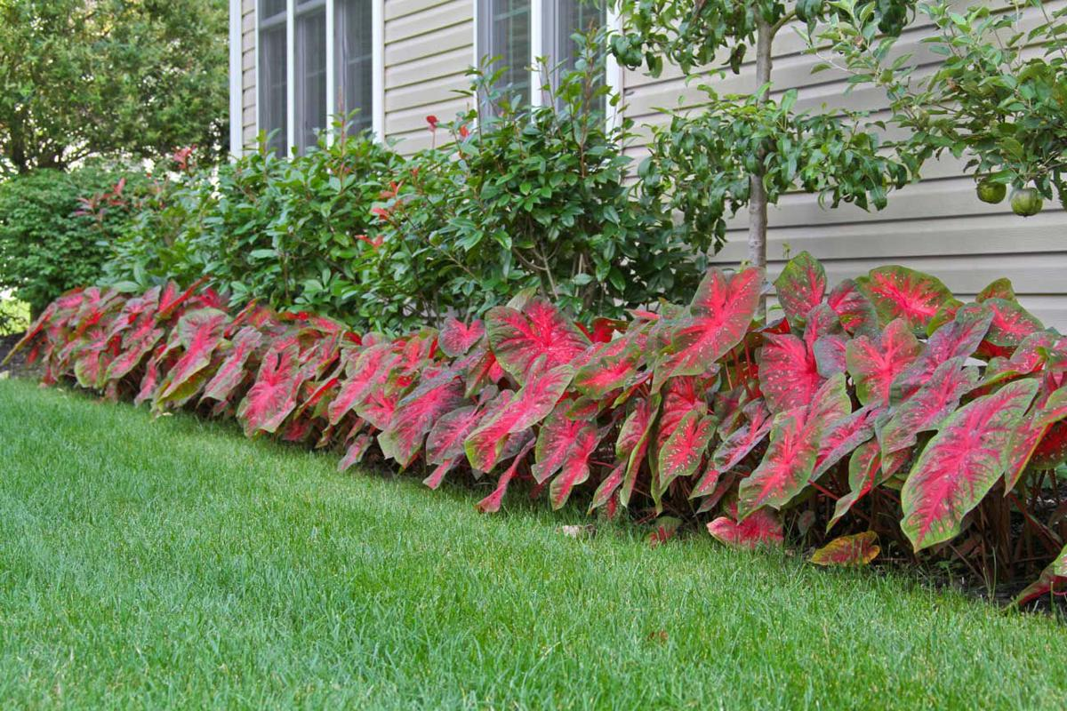Plant Palette Caladiums Brighten Shady Garden Areas Home