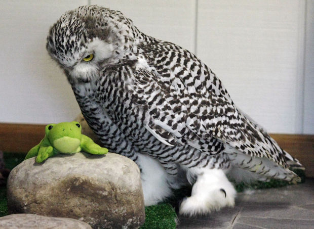 Snowy Owls Getting Comfy At Illinois Raptor Center