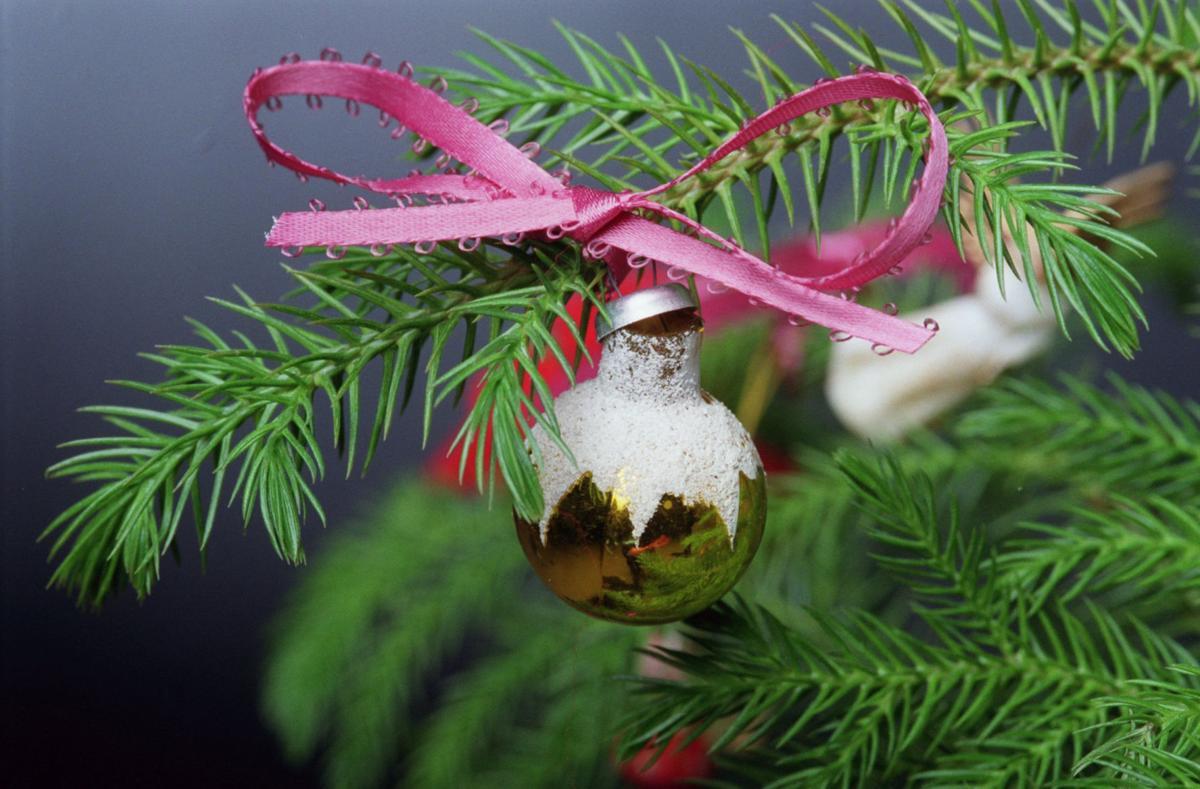Norfolk Island pine makes an alternative Christmas tree | Home and ...