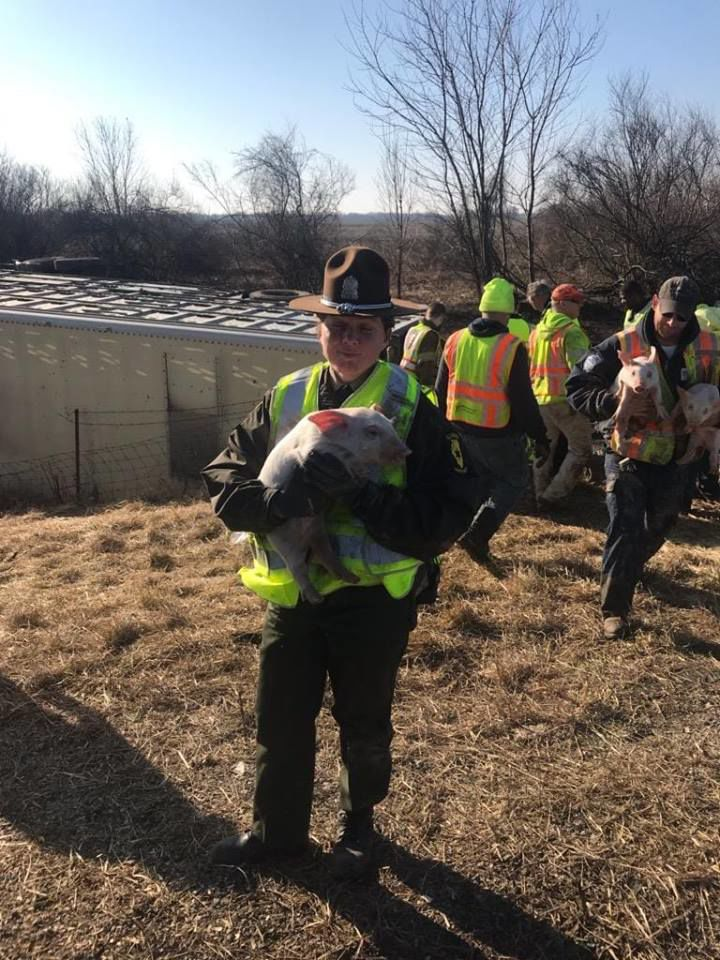 Nearly 3000 small pigs were loose today, due to a live
