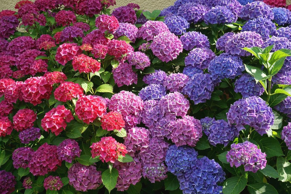 Plant Palette: Reasons why your hydrangea won't bloom | Home ...