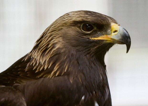 golden eagle spanish girl personals Golden eagle pronunciation how to say golden eagle listen to the audio pronunciation in english learn more.