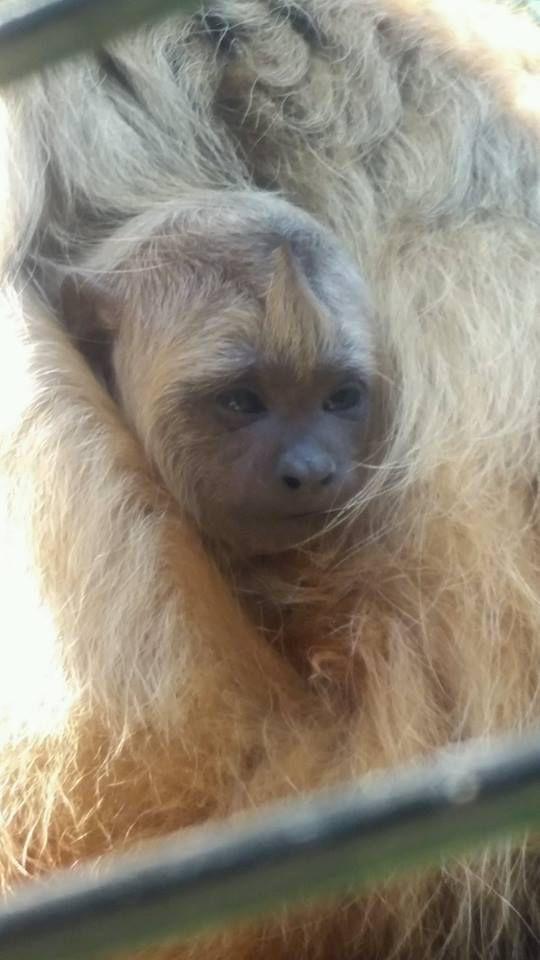 Howler monkeys welcome new member of the family