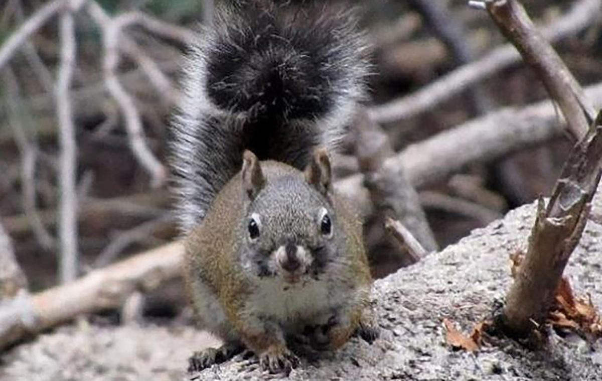 Endangered Squirrel