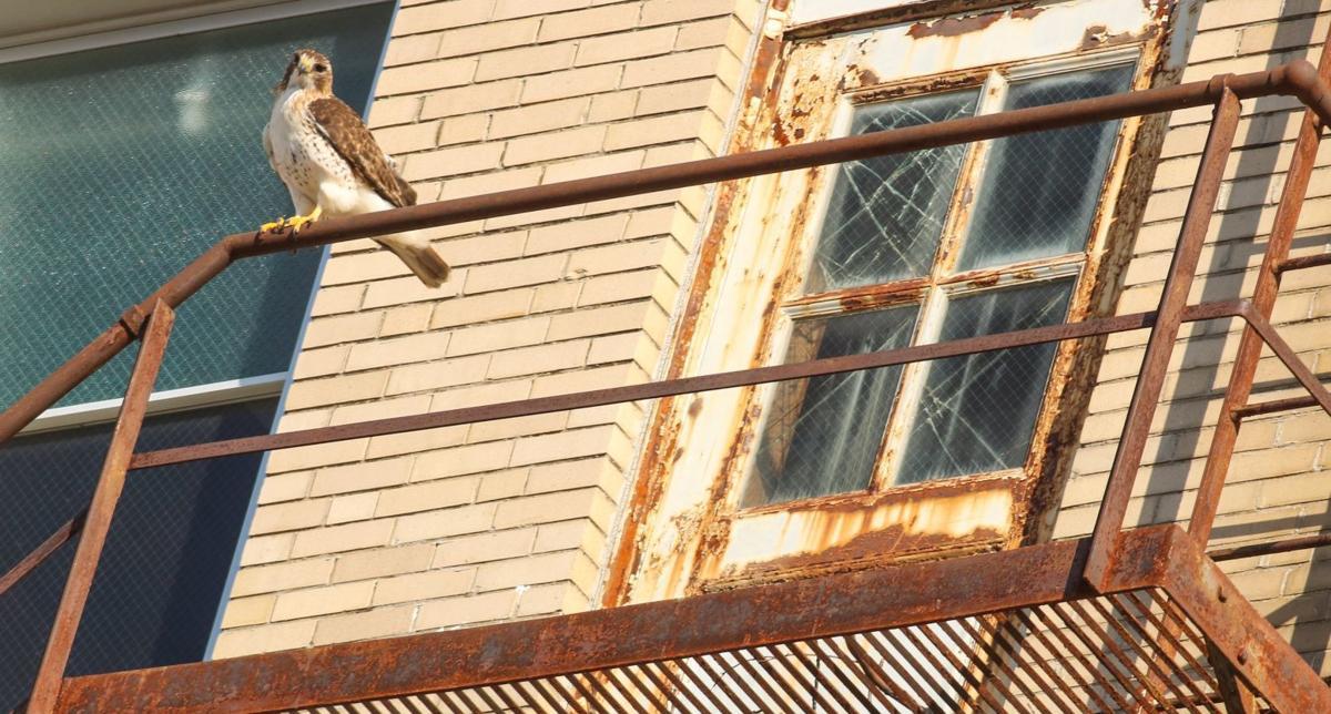Downtown hawks