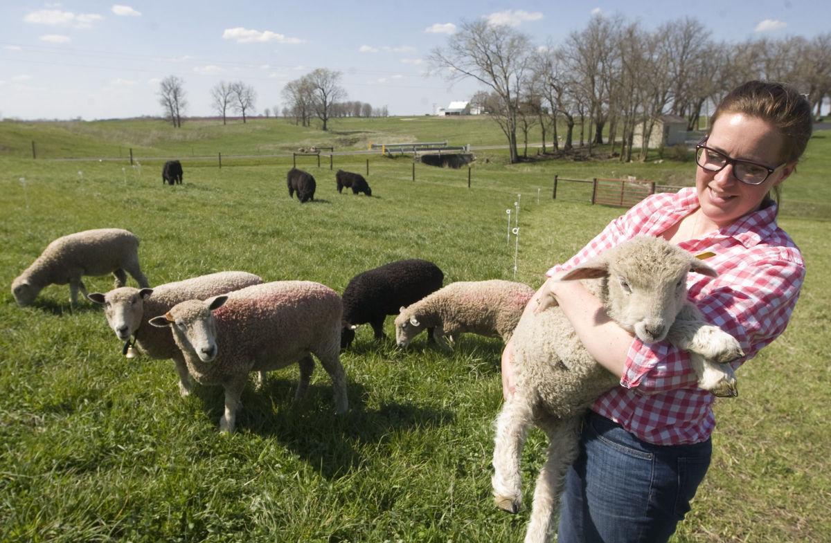 pyatt sheep postcard 1