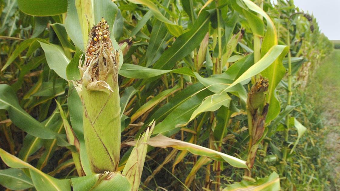 Central Illinois farmers play waiting game for start of harvest 🌽