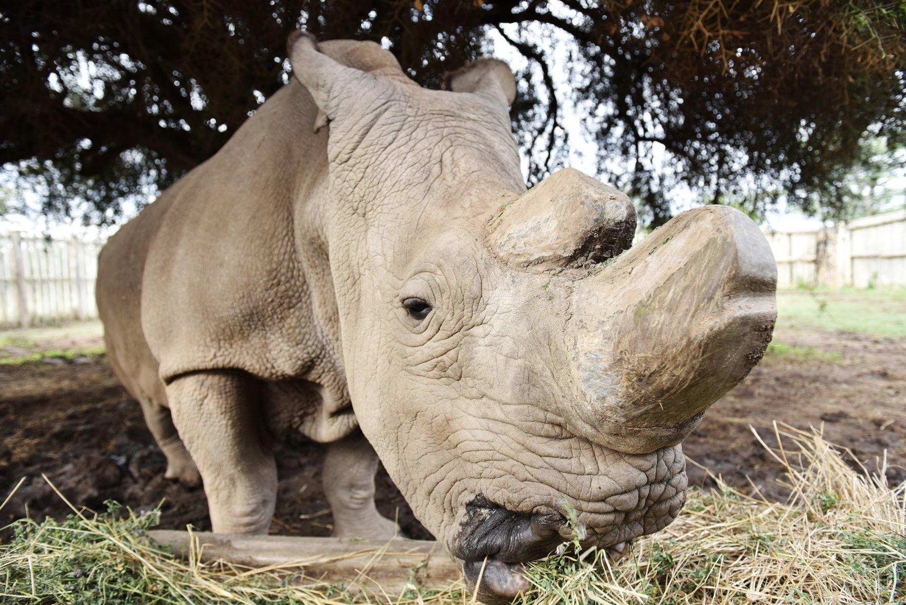 White rhino: habitat, description, lifestyle features 69