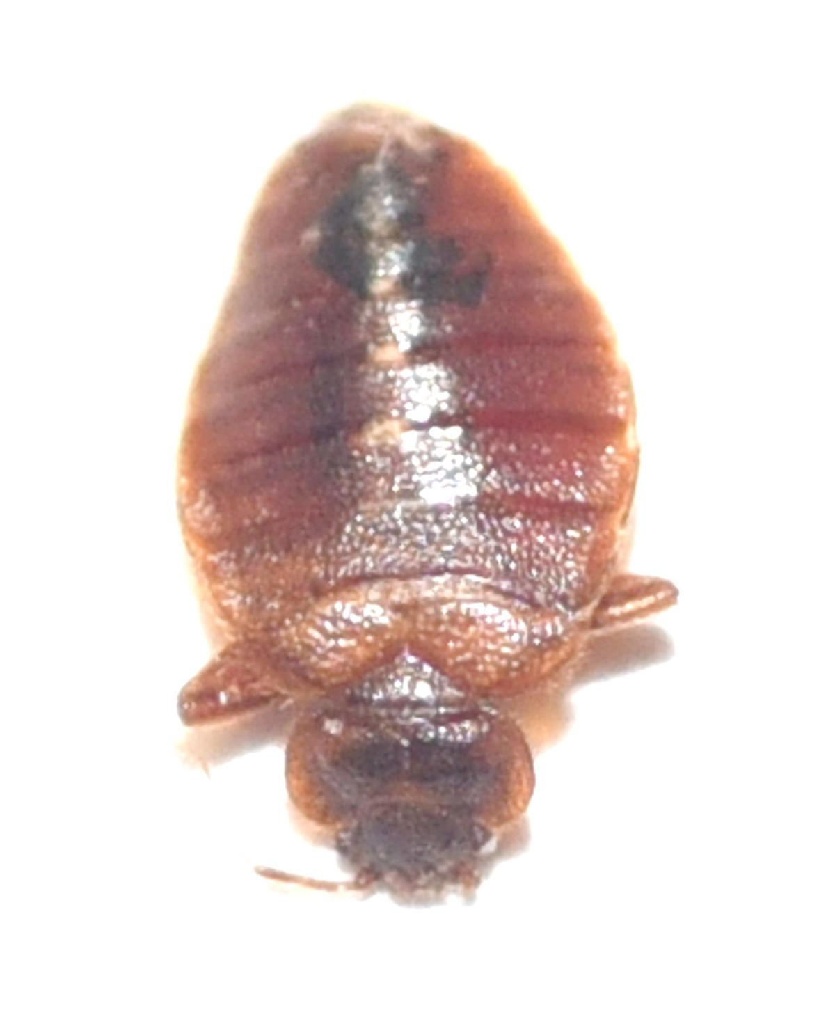 Bed Bug Numbers On The Rise In Central Illinois Local