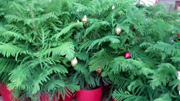Plant Palette: Keep These Christmas Pines Green Long After