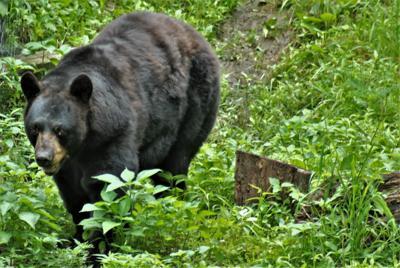 Black Bear @ Wildlife Prairie Park