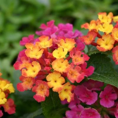 Plant Palette Lantanas Are A Beautiful Addition To Most Any Garden
