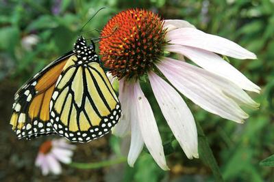 monarch pic 0910