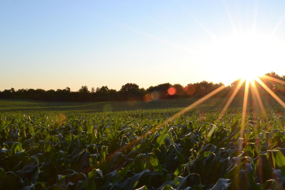 Unsplash corn farm meta