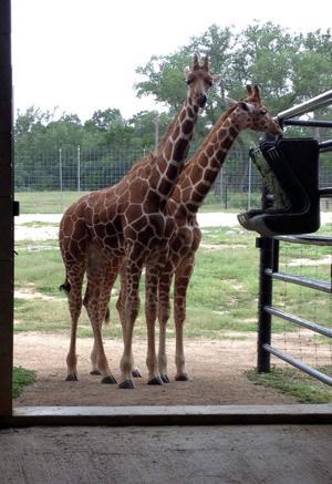 Giraffe Program
