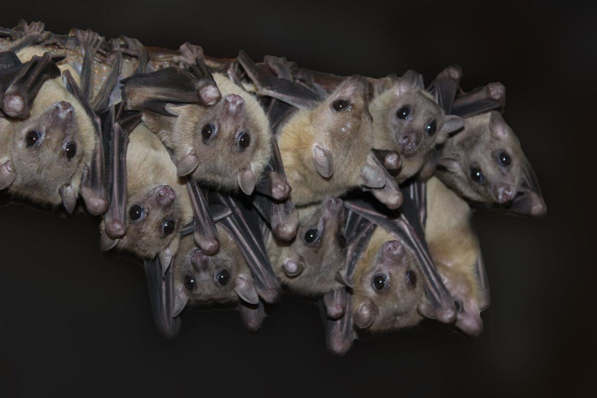 Bats Return To Area In Annual Spring Migration News Herald