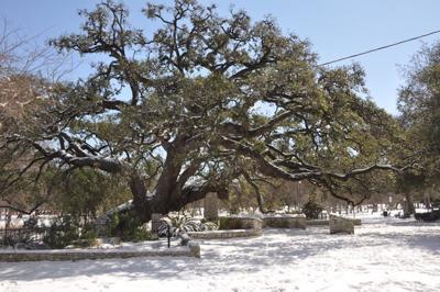 Founders' Oak in snow
