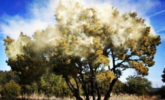 Cedar Tree Exploding