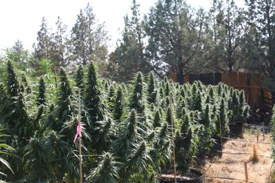 Marijuana raids 01