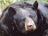 Outdoors mistaken identity knowing bear species most for Oregon fish and wildlife jobs