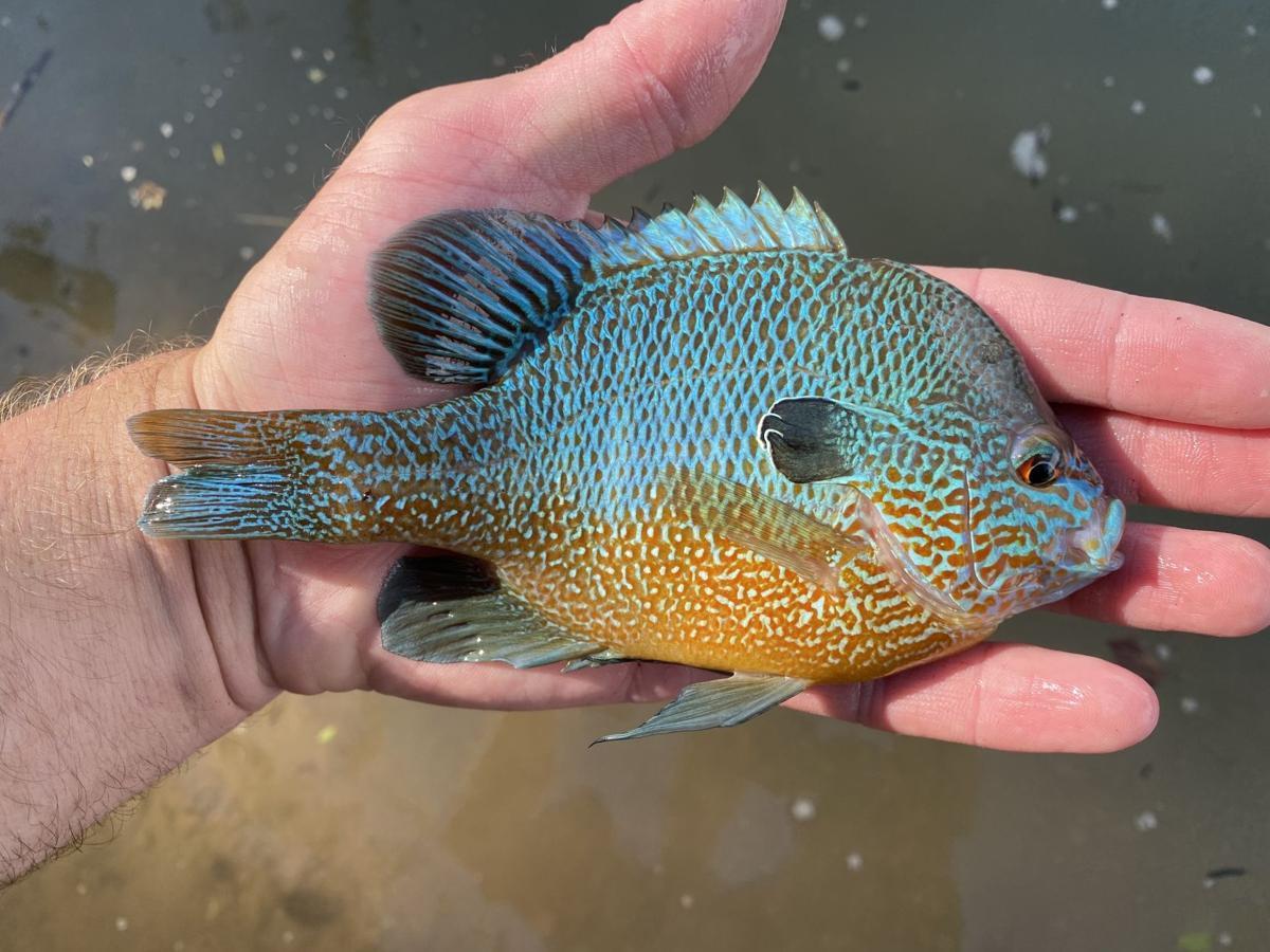 Sunfish, Longear (Current River, MO).JPEG