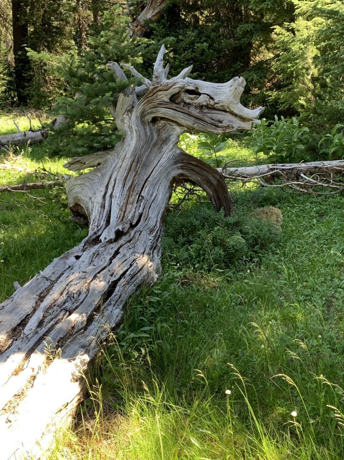 Fallen tree, Long Lake
