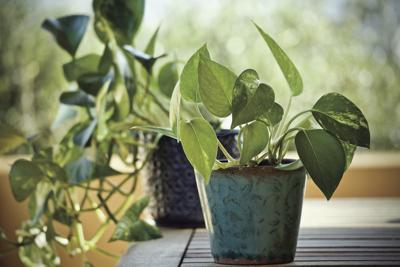Five easy houseplants worth trying | Local News ... Houseplants Pictures And Names on moon phases names, looney tunes characters names, weapon names,