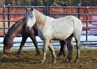 Double Devil wild horses